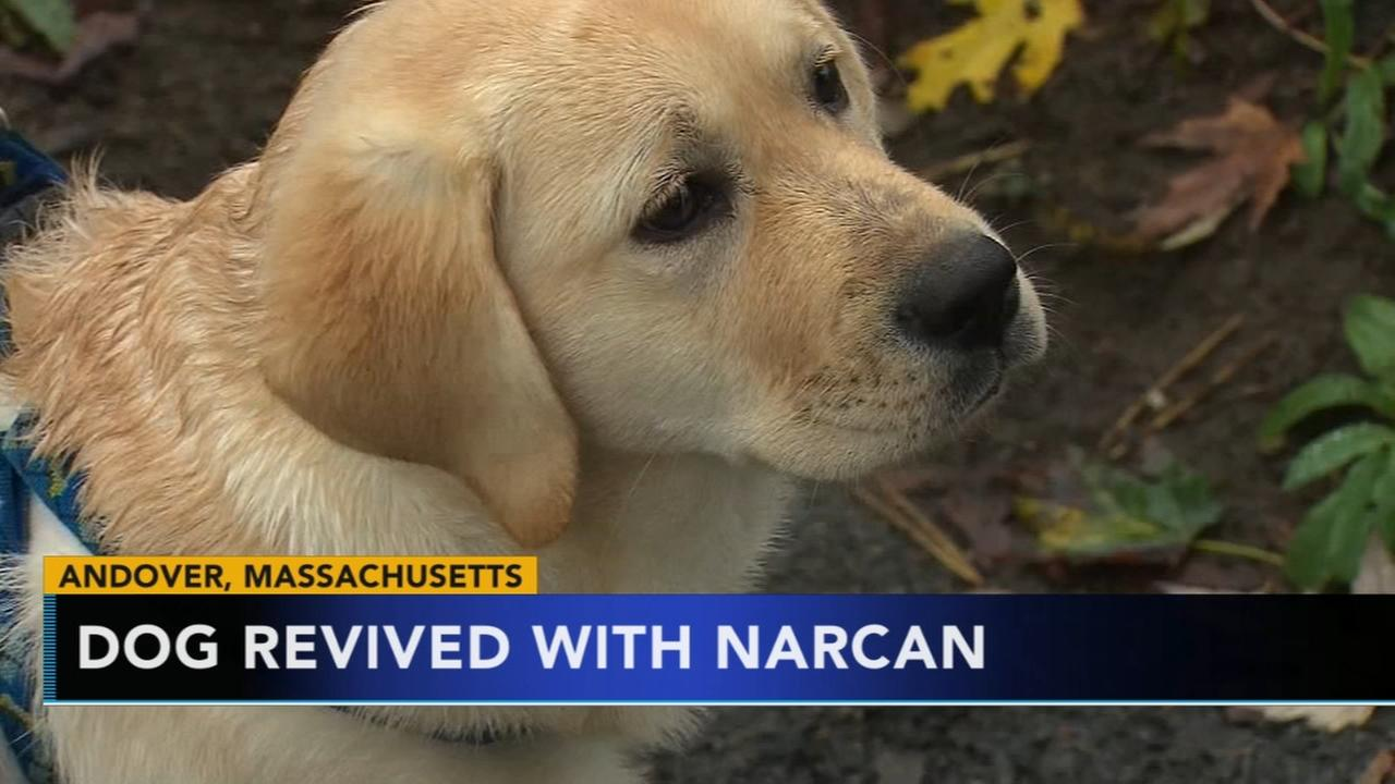VIDEO: Puppy overdoses, revived by Narcan