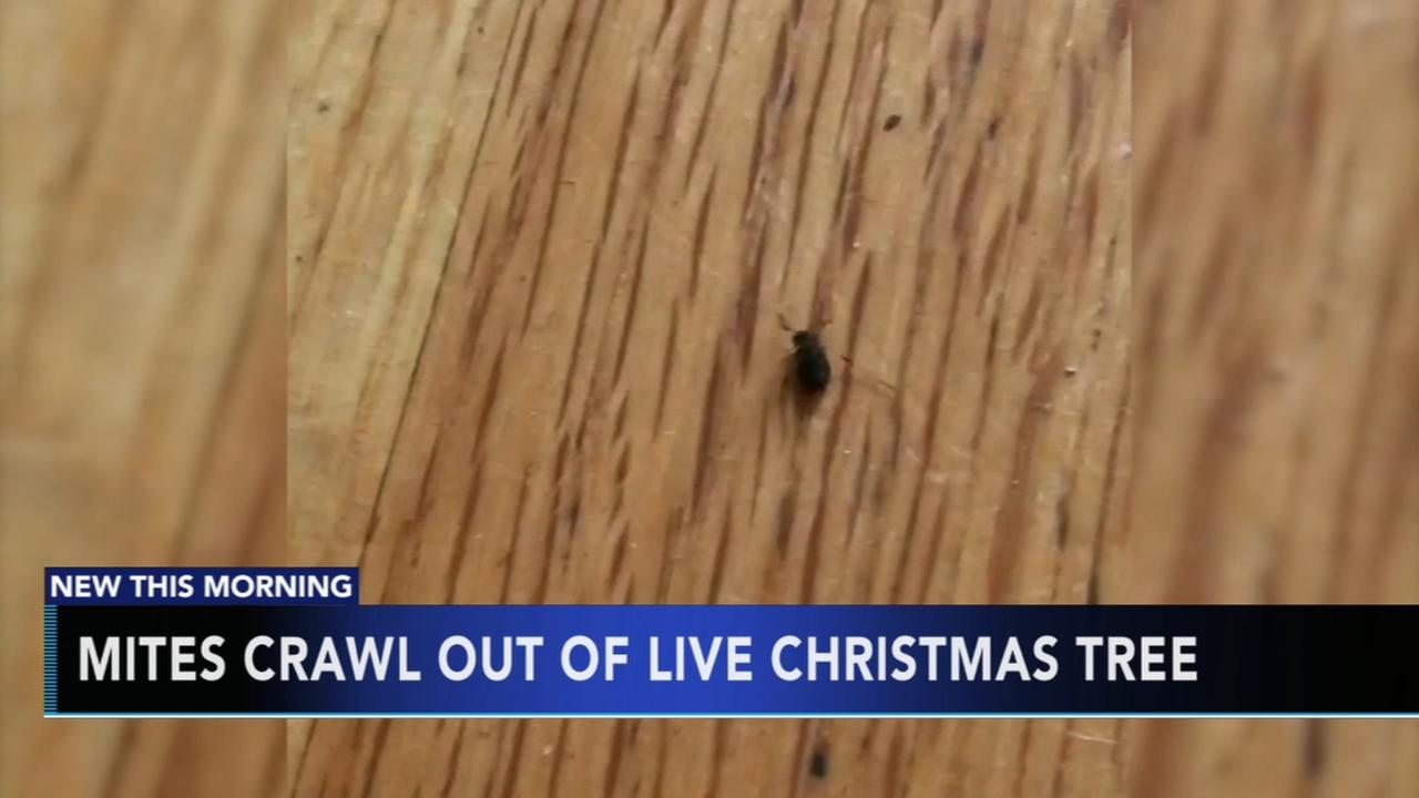 Mites crawl out of Christmas tree