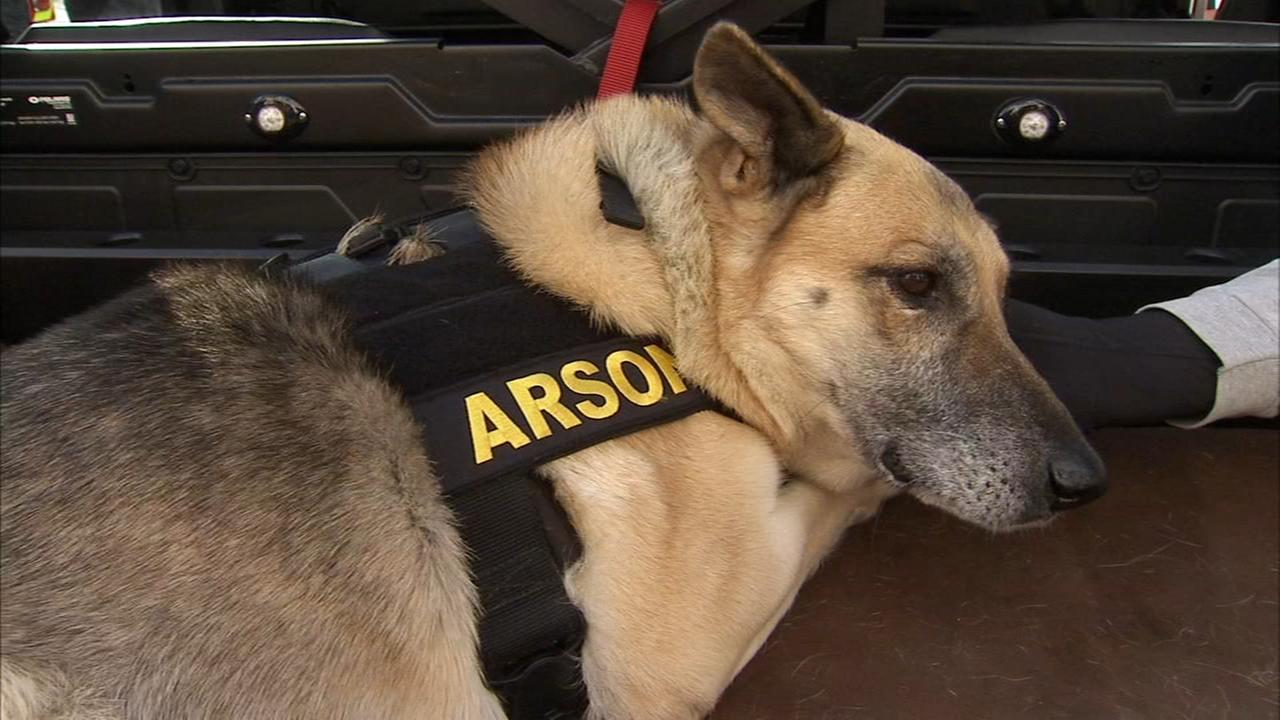 Terminally ill shelter dog becomes honorary arson dog for a day