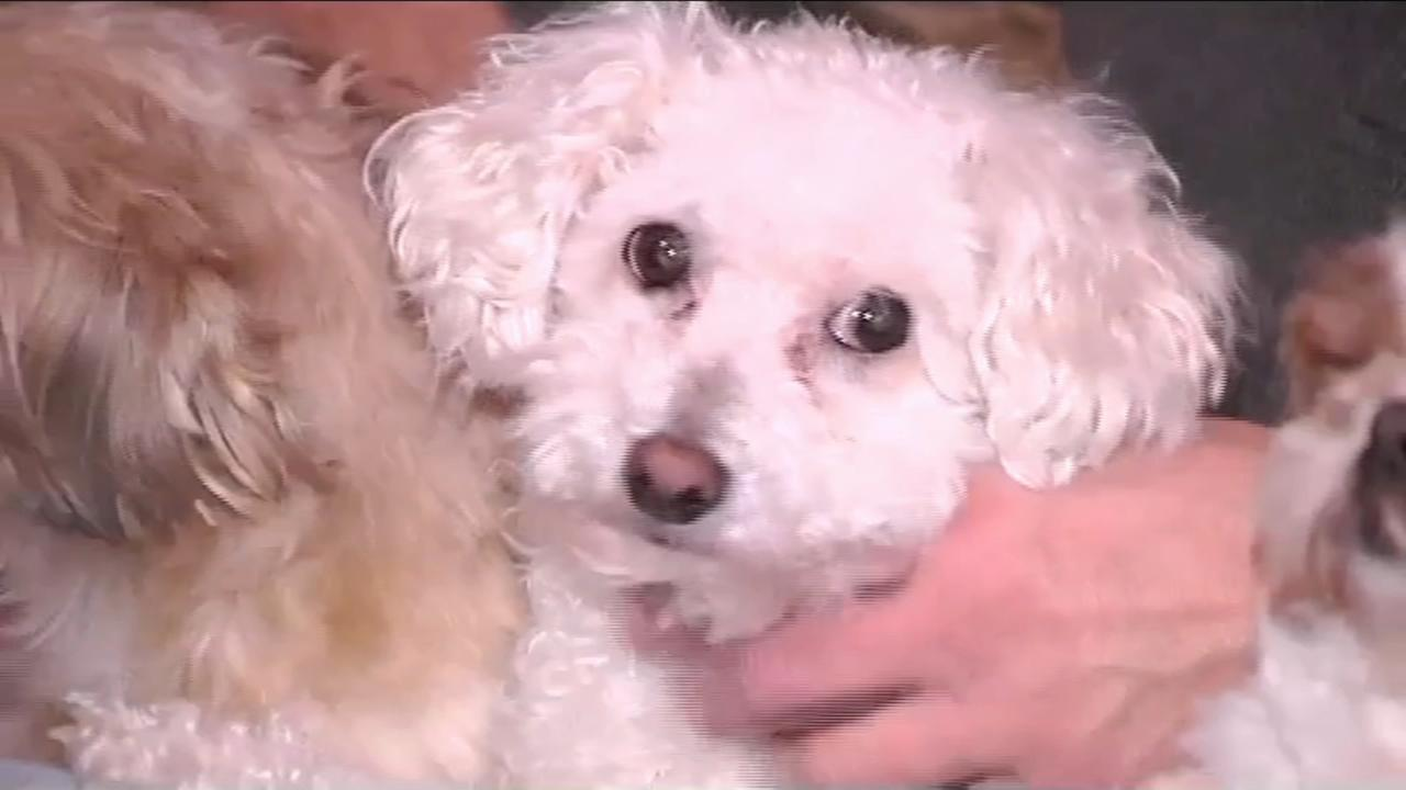 Little dog snatched by eagle in Pa.
