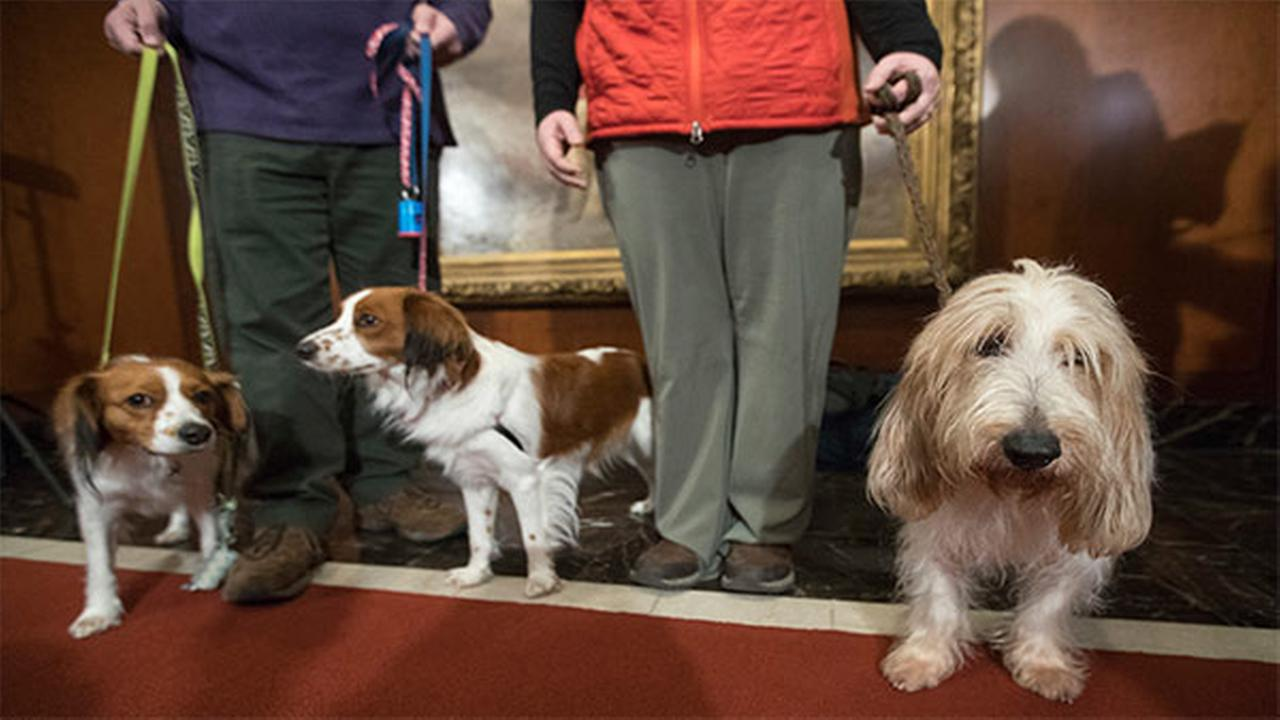 Juno, right, a grand basset griffon Vendeen, and Nederlandse kooikerhondje, Escher, left, and Rhett, center, are shown by their handlers at the AKC headquarters Wednesday.