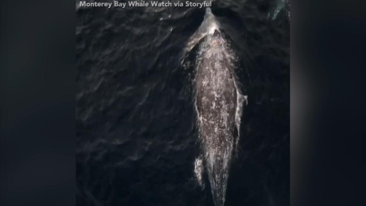 VIDEO: Pod of gray whales swim through Monterey Bay