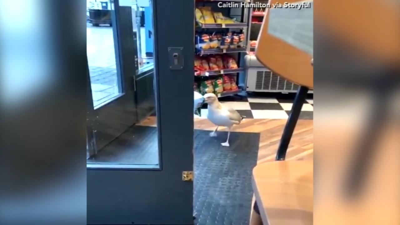 Shoplifting seagull caught on camera stealing a bag of chips