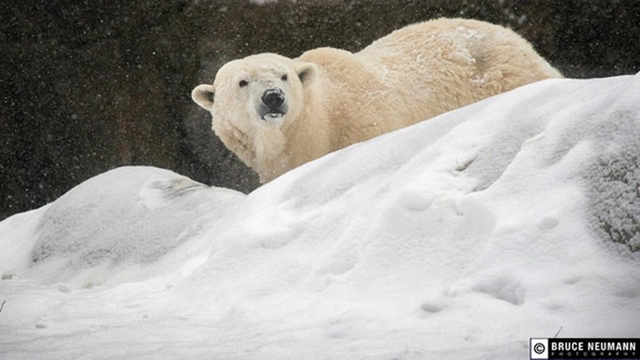 Coldilocks, the oldest polar bear in the US, dies at Philadelphia Zoo