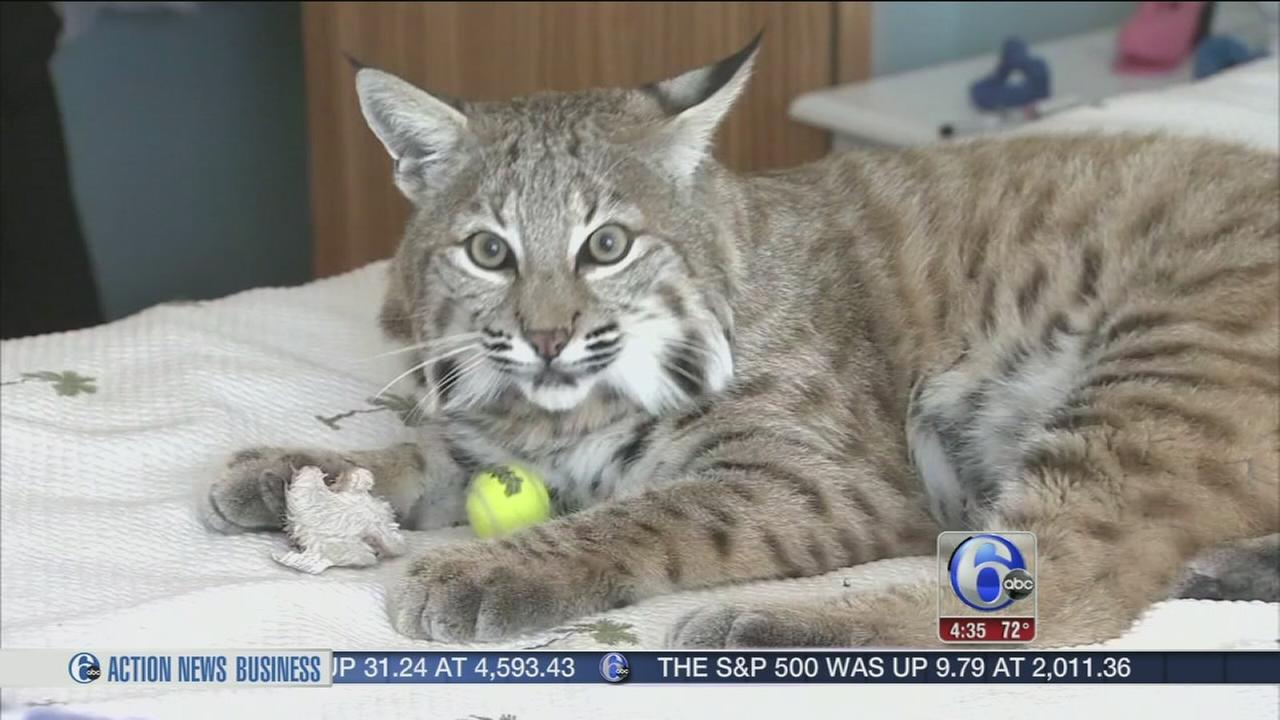 VIDEO: Bobcat back home with owner in Beach Haven West