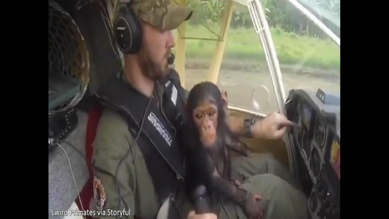 Rescued baby chimp enjoys plane ride to new home