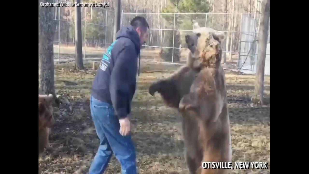 Syrian brown bears give owner hugs