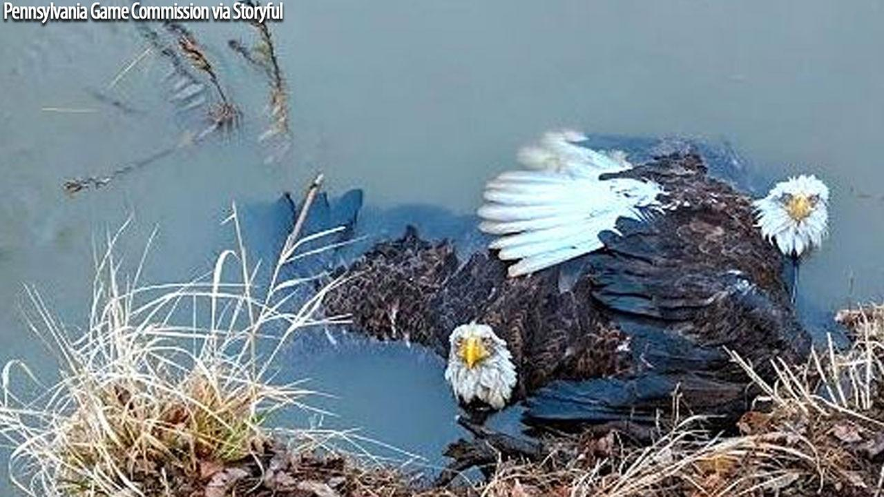 Bald eagles rescued from river in Pennsylvania