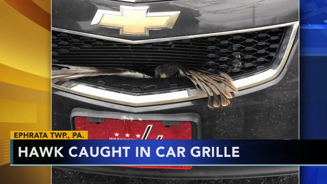Hawk gets caught in car grille in Lancaster County