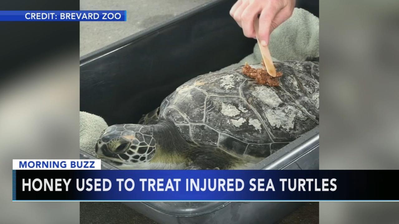 Honey used to treat injured sea turtles