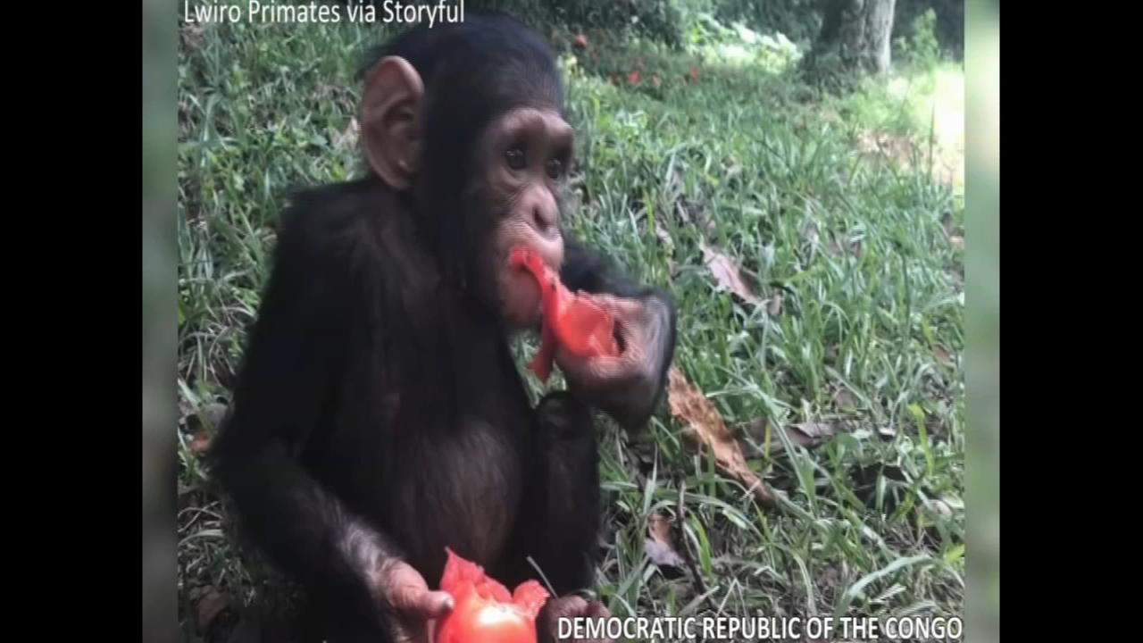 Rescued chimpanzee adjusting well to new life