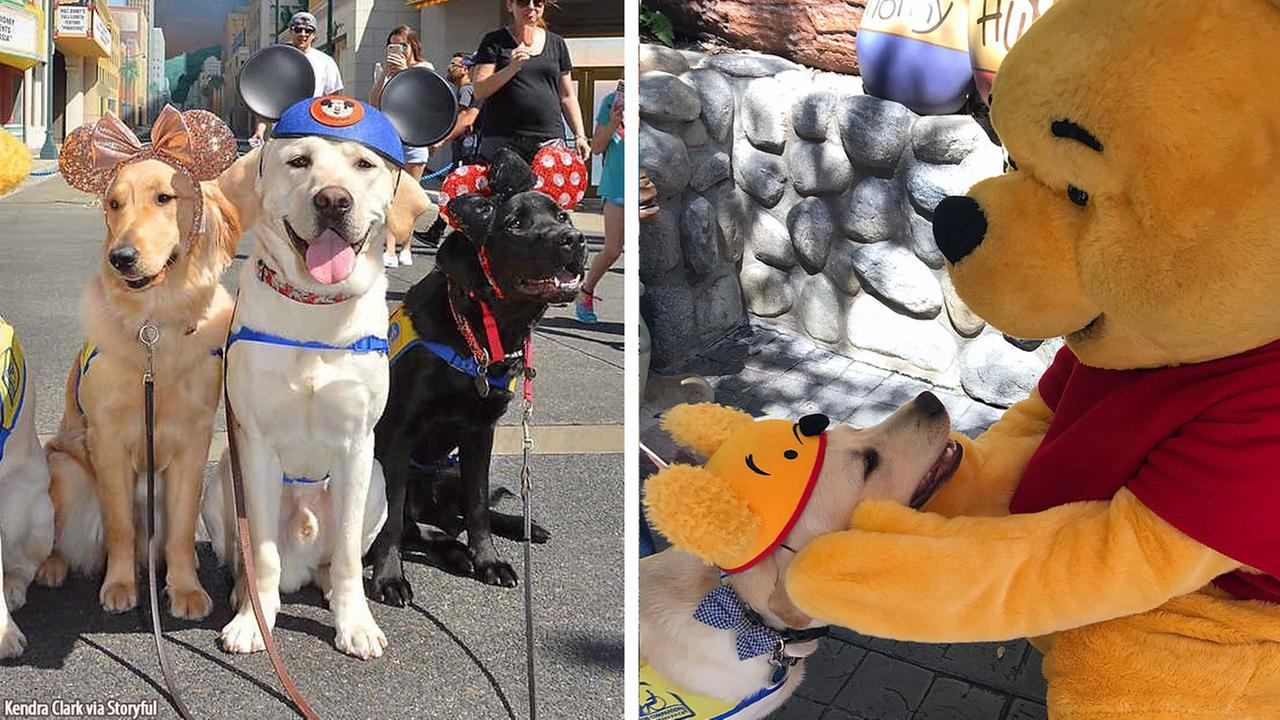Service dogs in training visit Disneyland