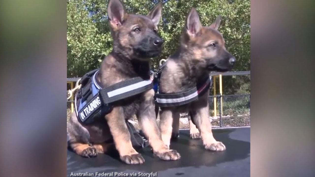 The Australian Federal Police K9 team has grown by three.