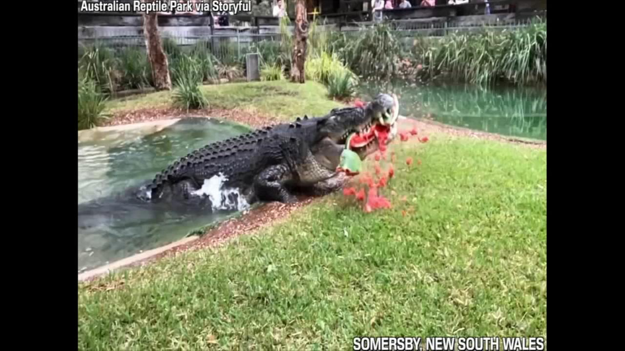 Cranky crocodile eats watermelon in one powerful bite