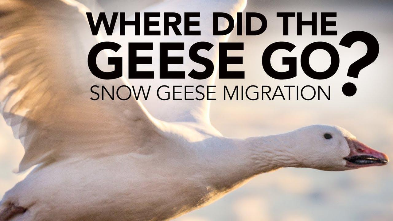 Its amazing how important the Delaware Valley is to Snow Geese.