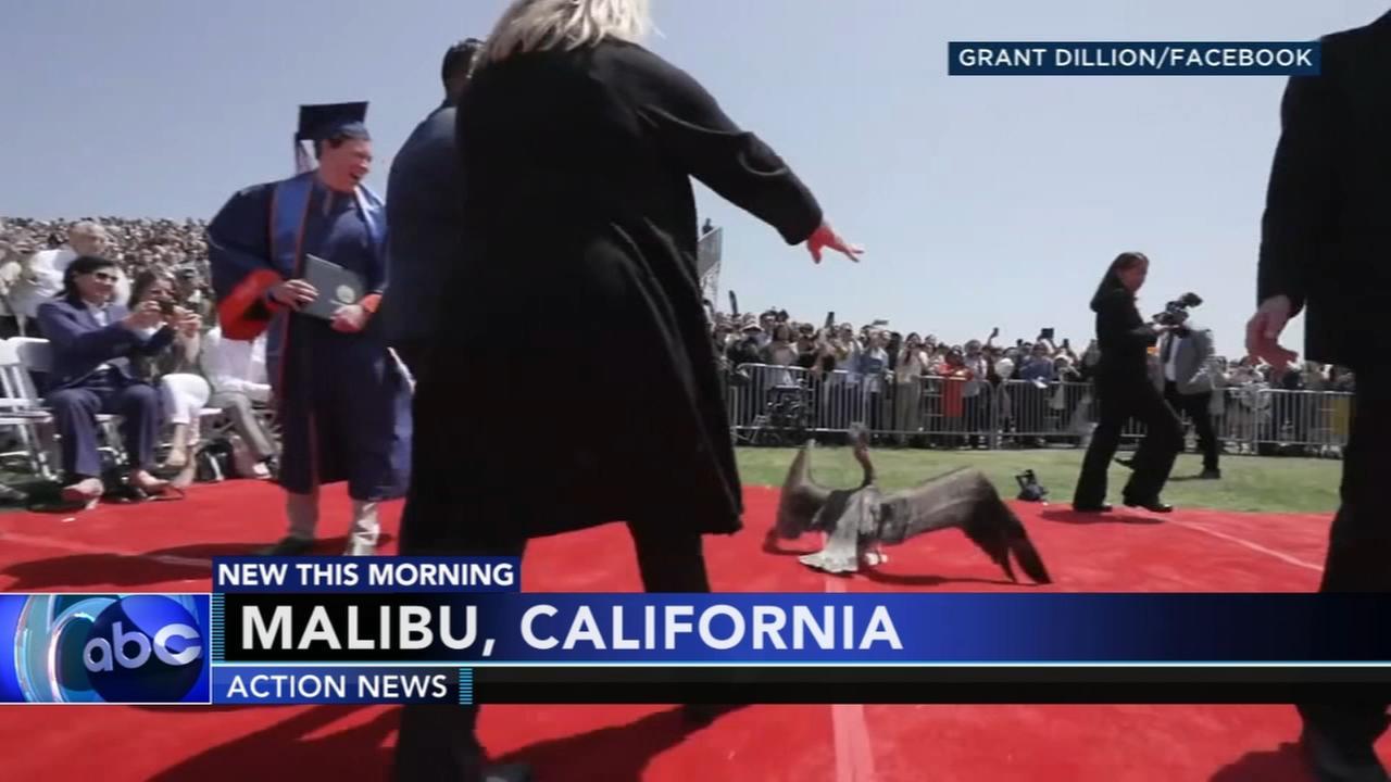 Pelicans crash college graduation