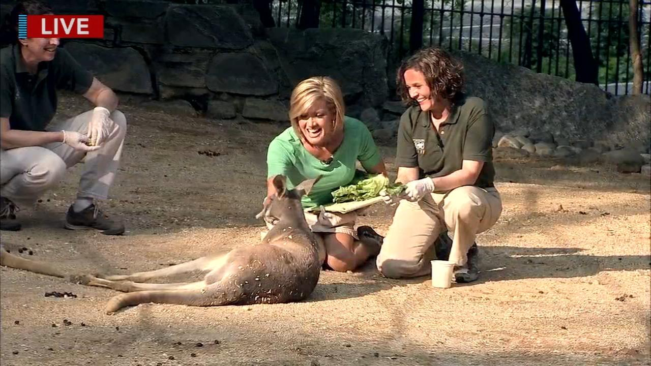 Cecily Tynan visits with the kangaroos at the Philadelphia Zoo