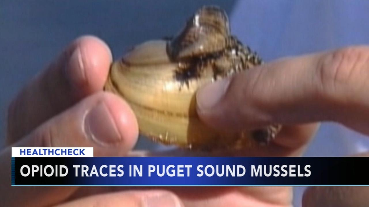 Biologists find opioid in Puget Sound mussels