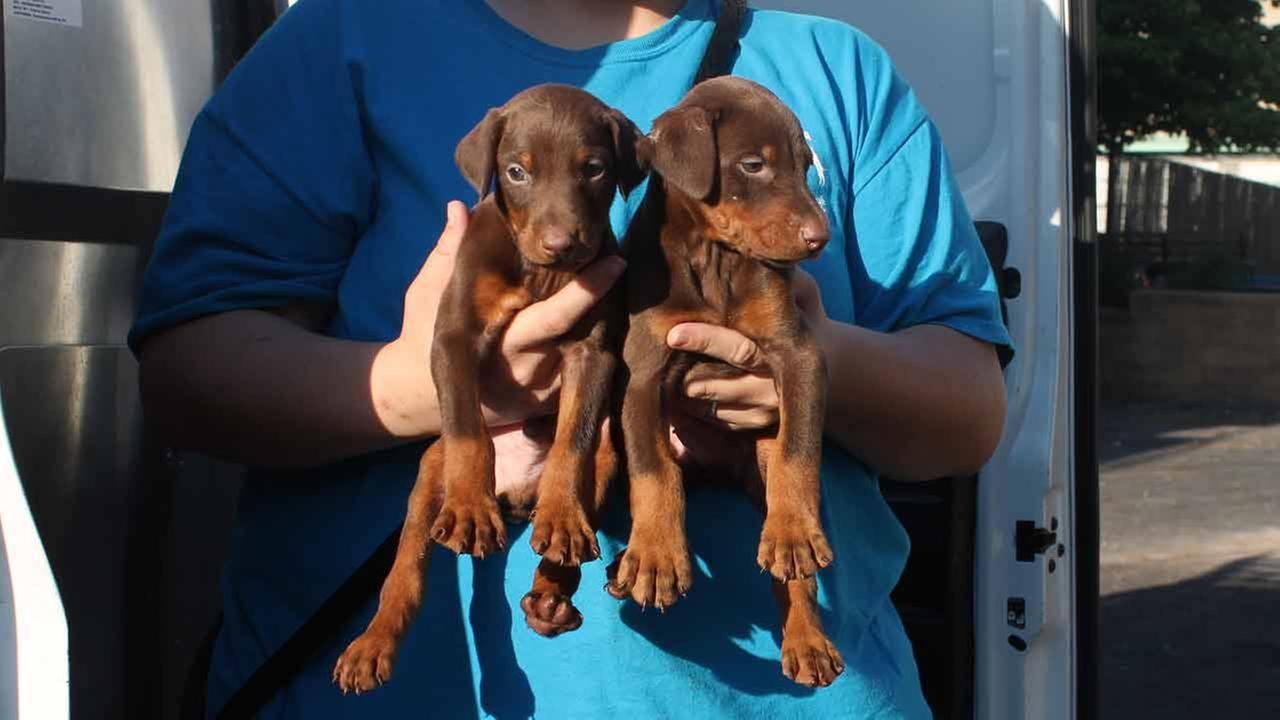 Officers removed 10 puppies including seven four-week old Doberman Pinschers, 2 six-week old Doberman Pinschers and one three-month old Siberian Husky puppy.