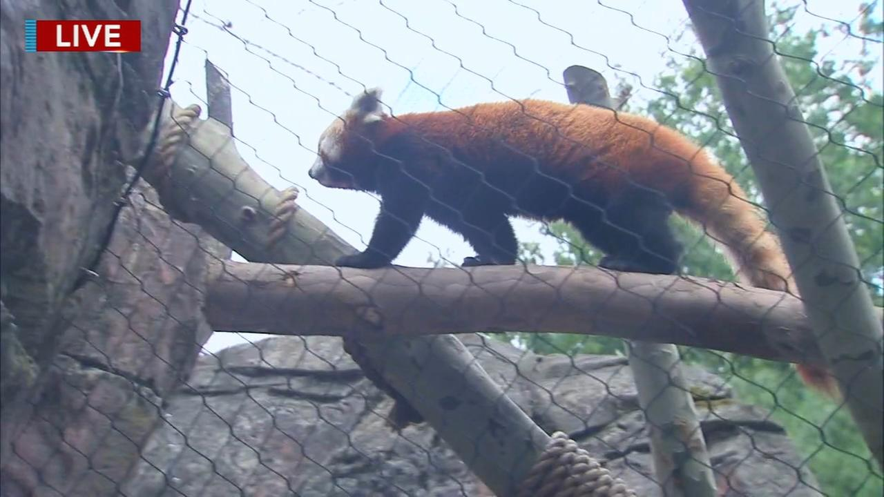 Cecily Tynan visits with the Red Panda at the Philadelphia Zoo