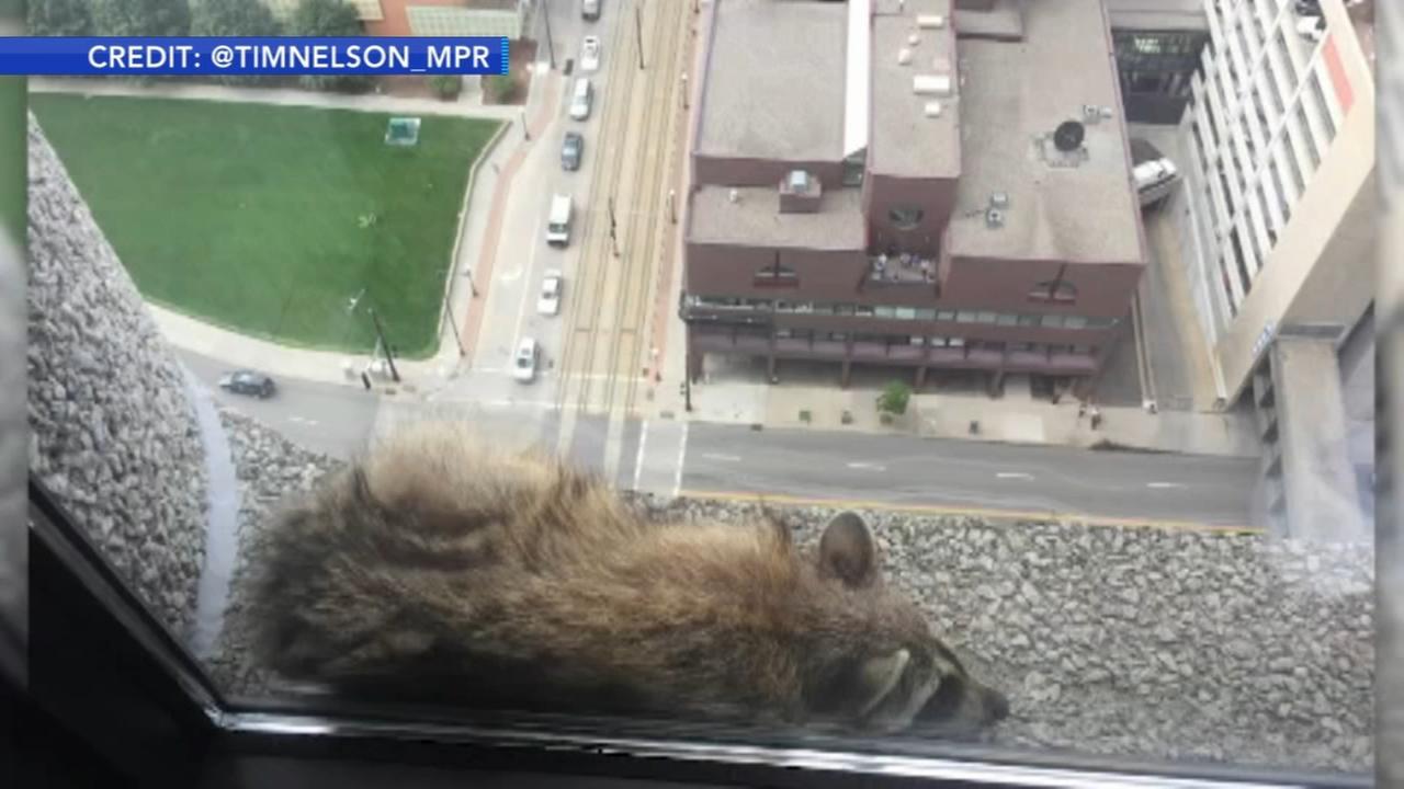 Risk-taking raccoon wows social media
