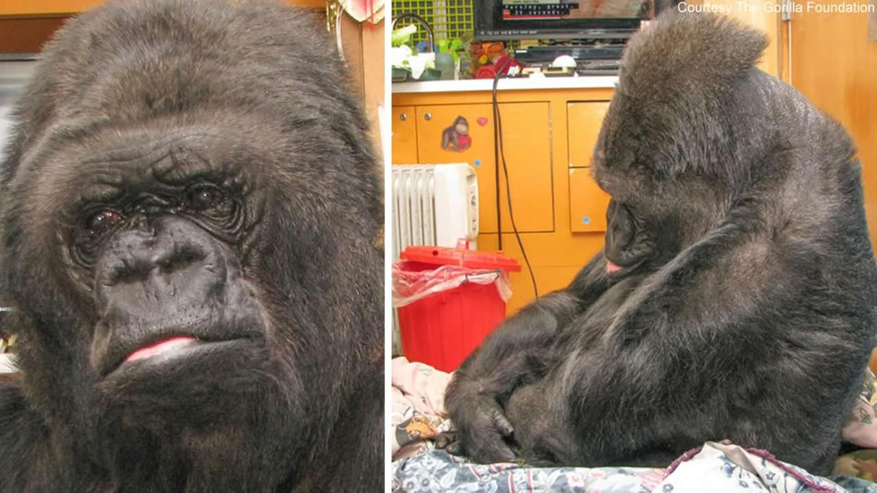 Koko the gorilla saddened to hear the news of Robin Williams death.