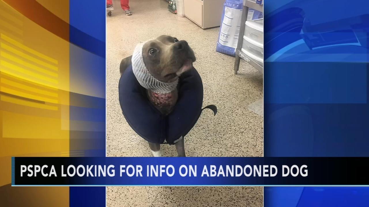 Dog left to die in North Philadelphia recovering; SPCA investigating