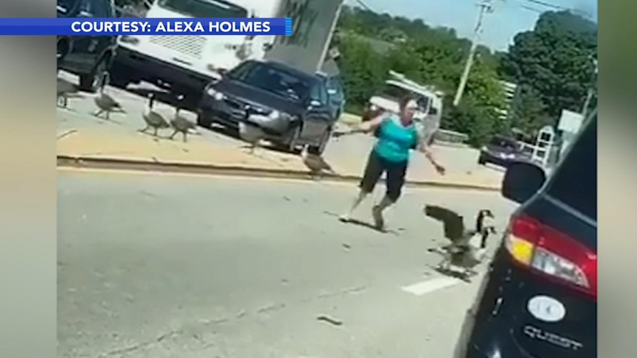 Goose Whisperer corrals gaggle of geese on road