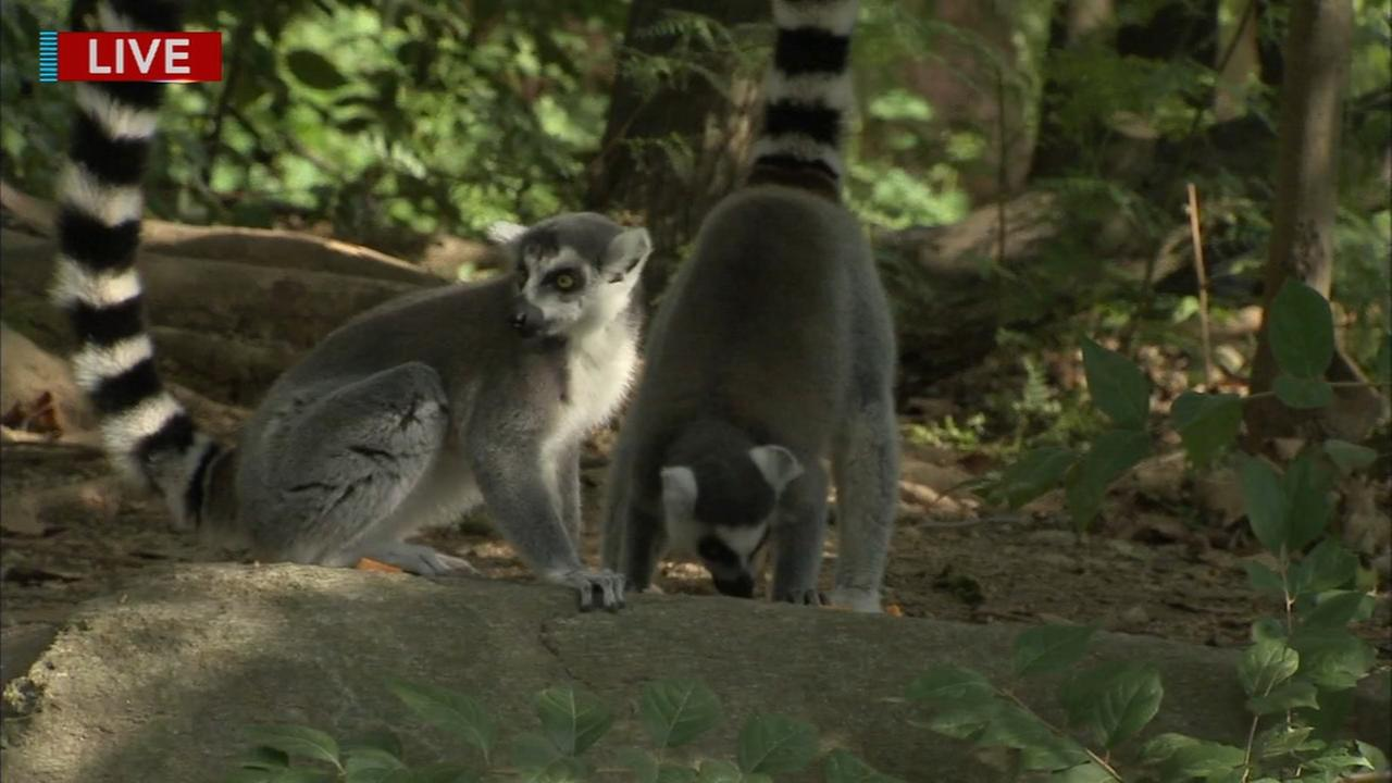 Cecily Tynan visits with the Ring-tailed lemurs at the Philadelphia Zoo
