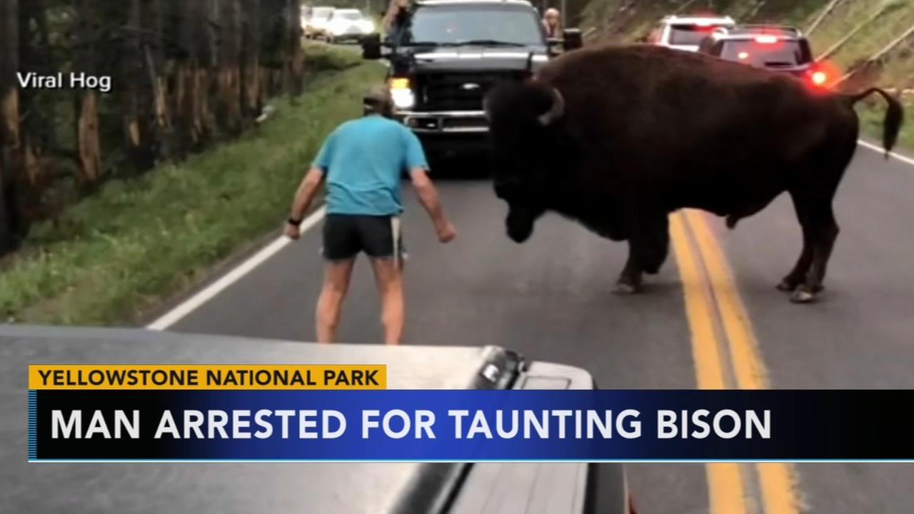 Man arrested for taunting a bison at Yellowstone Natl Park