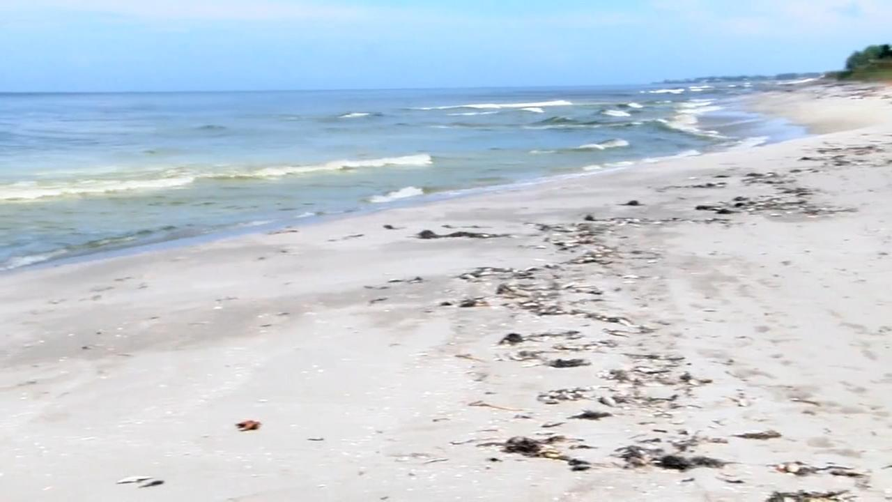 Red tide continues to devastate Tampa Bay area beaches and wildlife