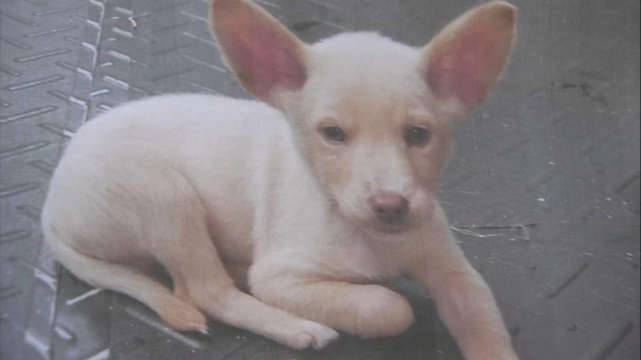 Sick rescue puppy stolen from Chester Co. pet store