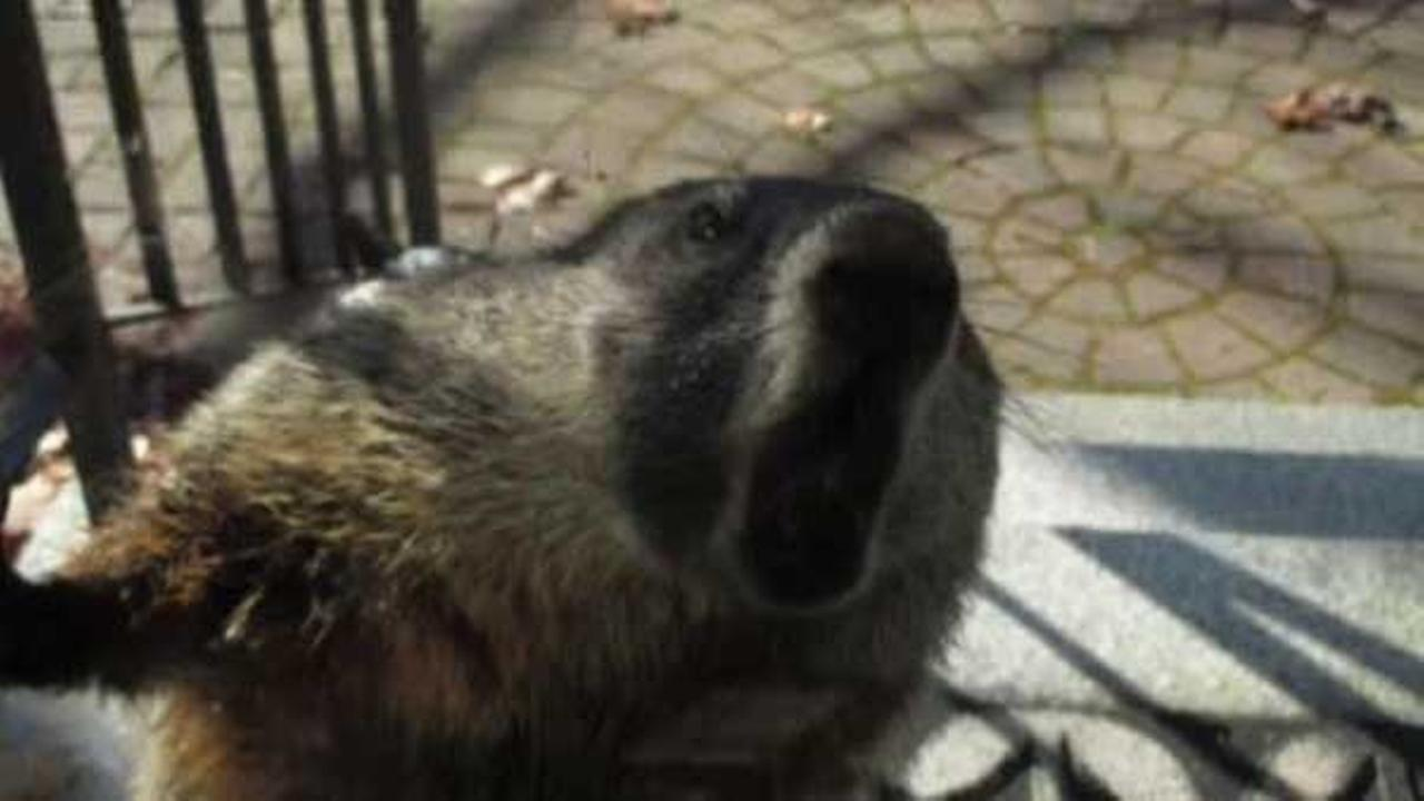 A rabid groundhog was the culprit behind several attacks in a New Hampshire neighborhood.