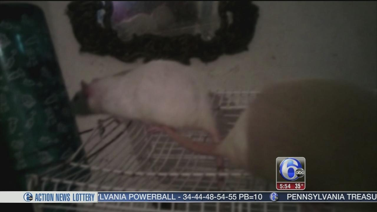 VIDEO: Woman keeps rats for pets in home