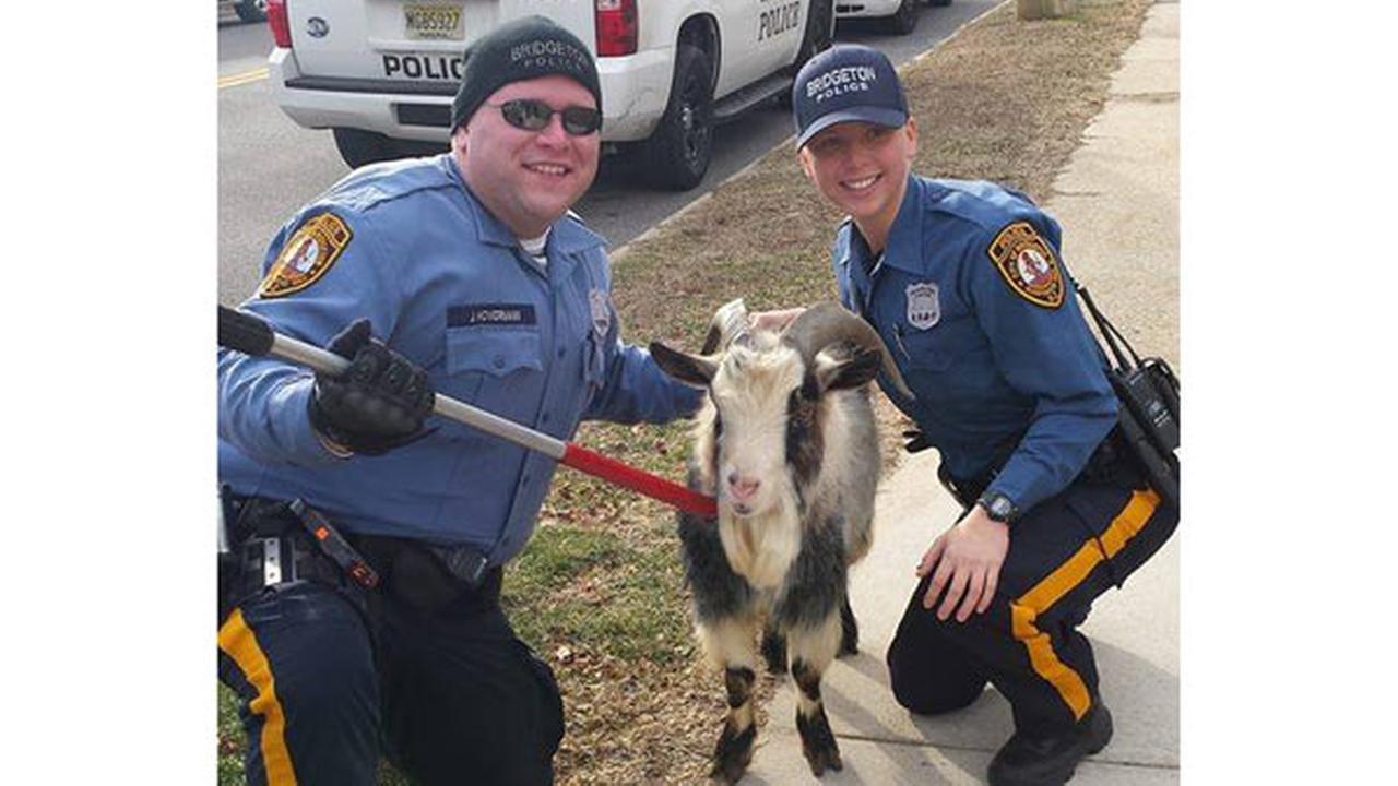 Stray goat found wandering in Bridgeton