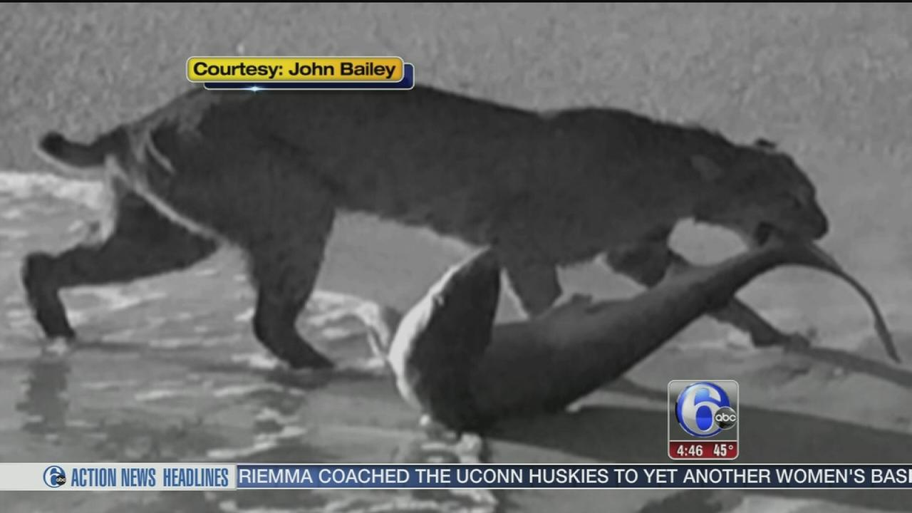 VIDEO: Bobcat takes bite out of shark on Fla. beach