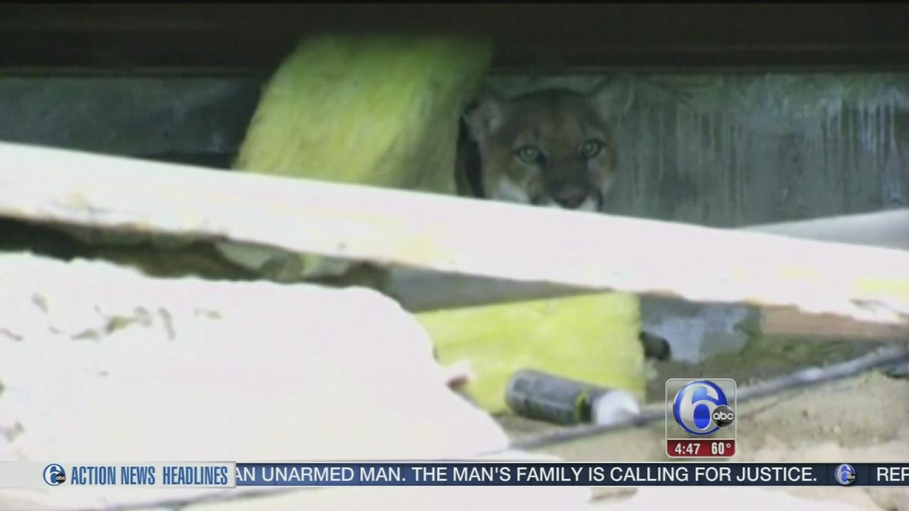 VIDEO: Mountain Lion trapped in LA house