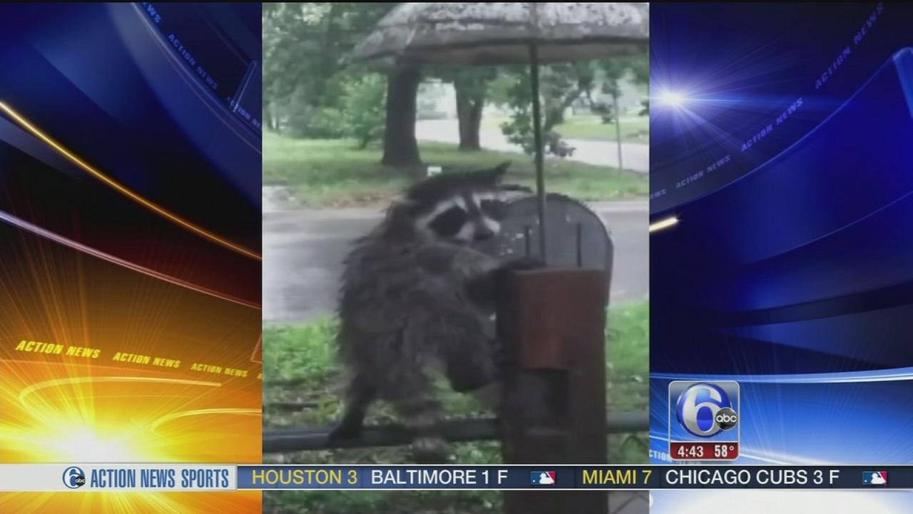 VIDEO: Raccoon finds a way to stay dry