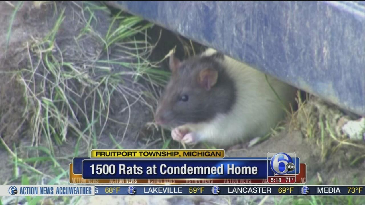 VIDEO: 1500 rats living around condemned home