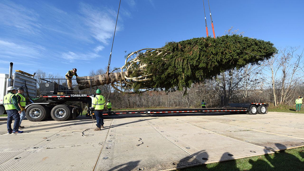 Rockefeller Christmas tree cut down at upstate New York home, ready to head to Midtown.