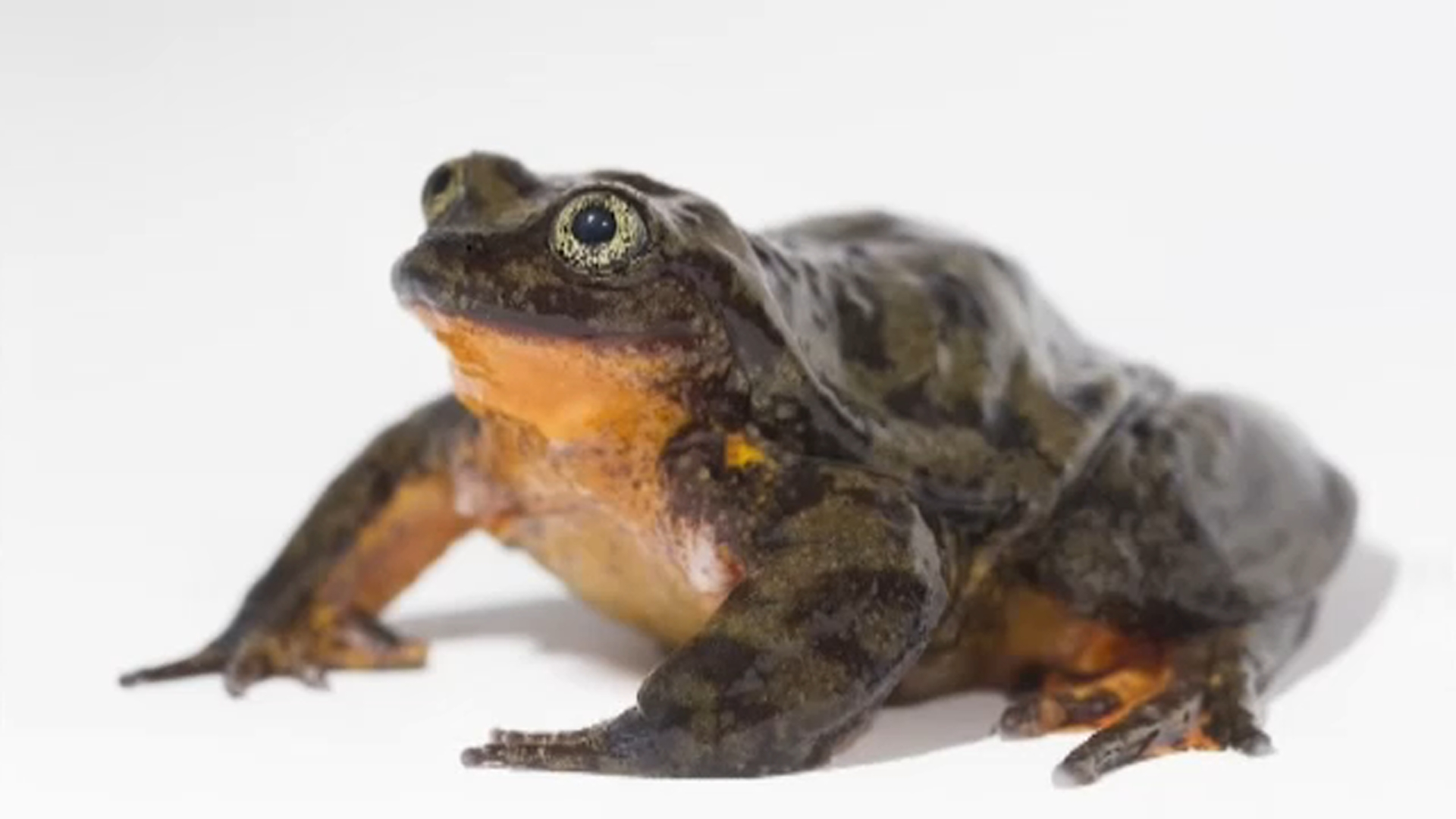 Rare frog finds mate for reproduction via online dating profile