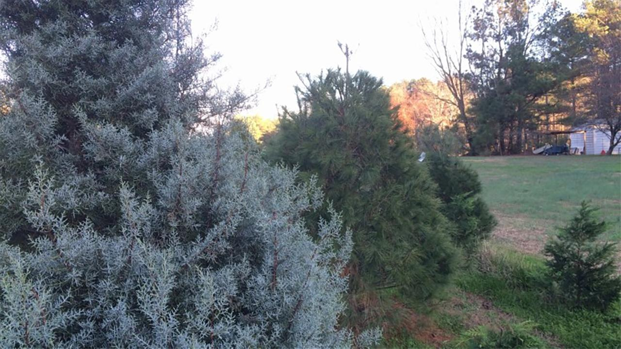 Boyce Farms in Wake County is one of the many farms in the Raleigh area that offers a choose and cut Christmas tree experience.