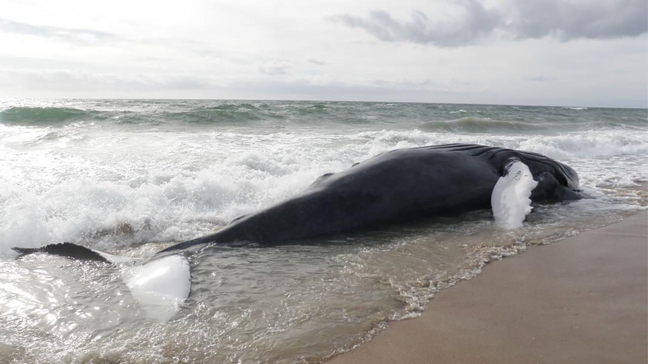 A dead humpback whale was found on a beach near the end of Hatteras Island, Monday, December 14, 2015.