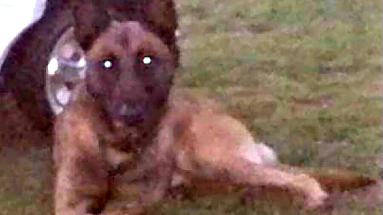 The missing K-9 is a male Belgian Malinois, tan in color, four years old, with a silver chain collar.