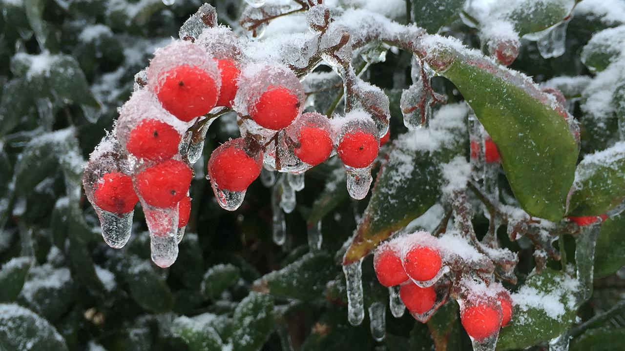 Ice on holly berries