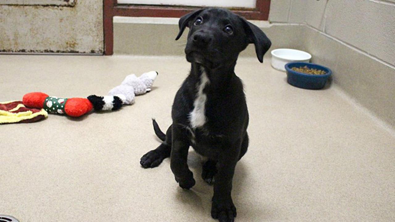 Rowan, a puppy stolen from the SPCA of Wake County, returned.