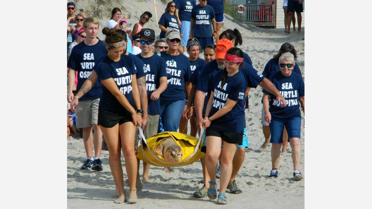 Sea turtles released on NC Coast