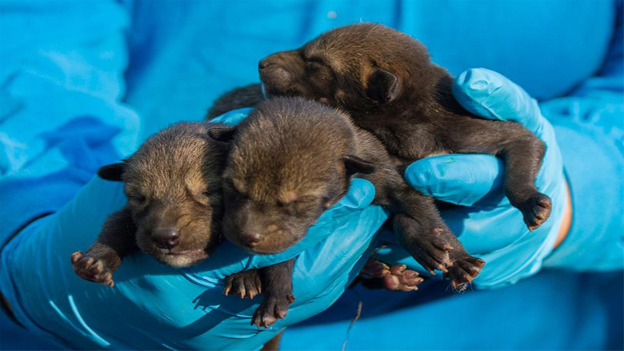 Red Wolf pup dies one week after NC Museum of Life and Science welcomes new litter