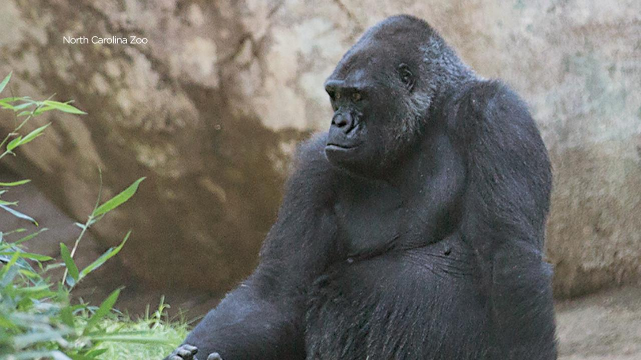 NC Zoo's Rosie the Gorilla dies