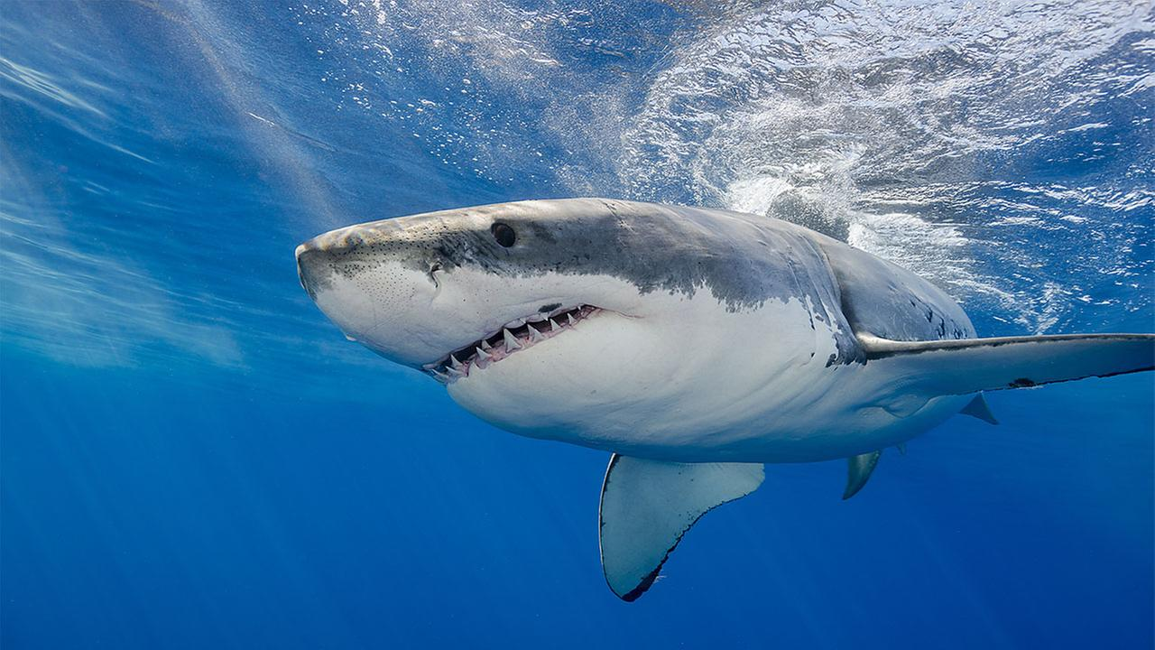 3 Great White sharks recently tracked off the coast of North Carolina